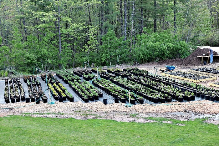 1000 3 gallon shrubs on black nursery mat in backyard.