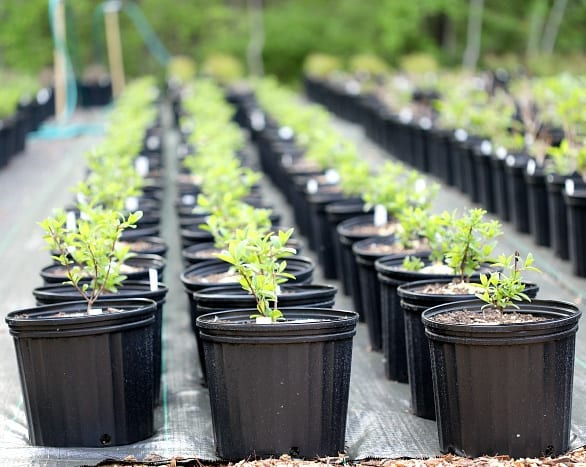long rows of small green plants in black plastic pots.