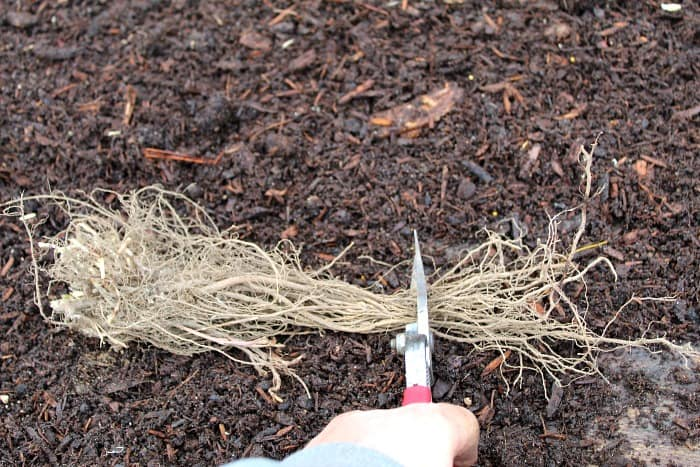 bare root plant with its roots getting cut by silver pruners