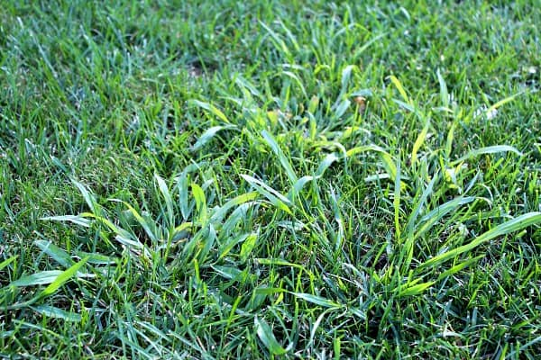 clumps of coarse textured crabgrass surrounded by fescue and bluegrass
