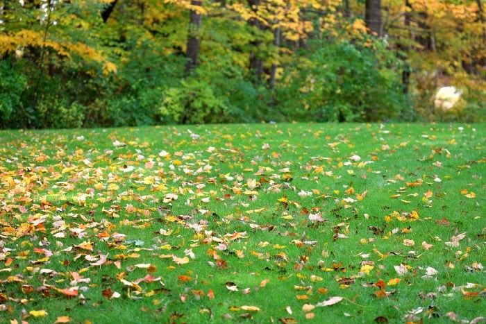 green lawn with colorful fall leaves spread over it